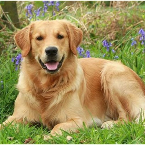 Reasons To Buy Golden Retriever Pups From A Breeder Part II